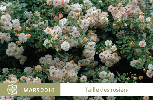 taille des rosiers atelier aux jardins de la ballue le 2 mars 2016 les jardins de la ballue. Black Bedroom Furniture Sets. Home Design Ideas