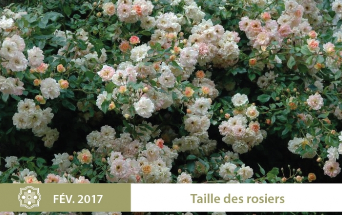 2017-01-taille-des-rosiers